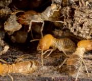 habitation en bois des termites